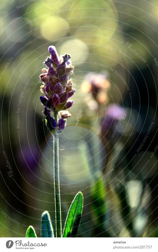 Lavendel Pflanze Sonnenlicht Sommer Blume Blatt Blüte Wildpflanze natürlich grün violett Frühlingsgefühle Mottengift Außenaufnahme Nahaufnahme Licht
