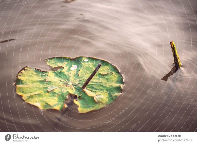 Die Details der riesigen Lotusblätter über Wasser Blatt Lotos Teich Außenaufnahme Nahaufnahme Thailand Überstrahlung natürlich Teller Park tropisch grün geblümt