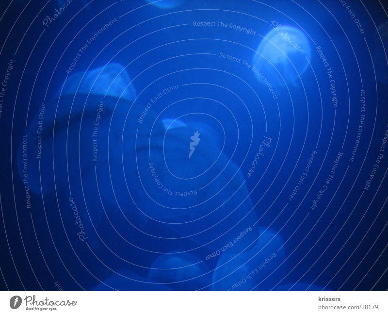 Blaue Quallen Wasser Meer blau dunkel See Fisch Zoo Aquarium Schweben azurblau