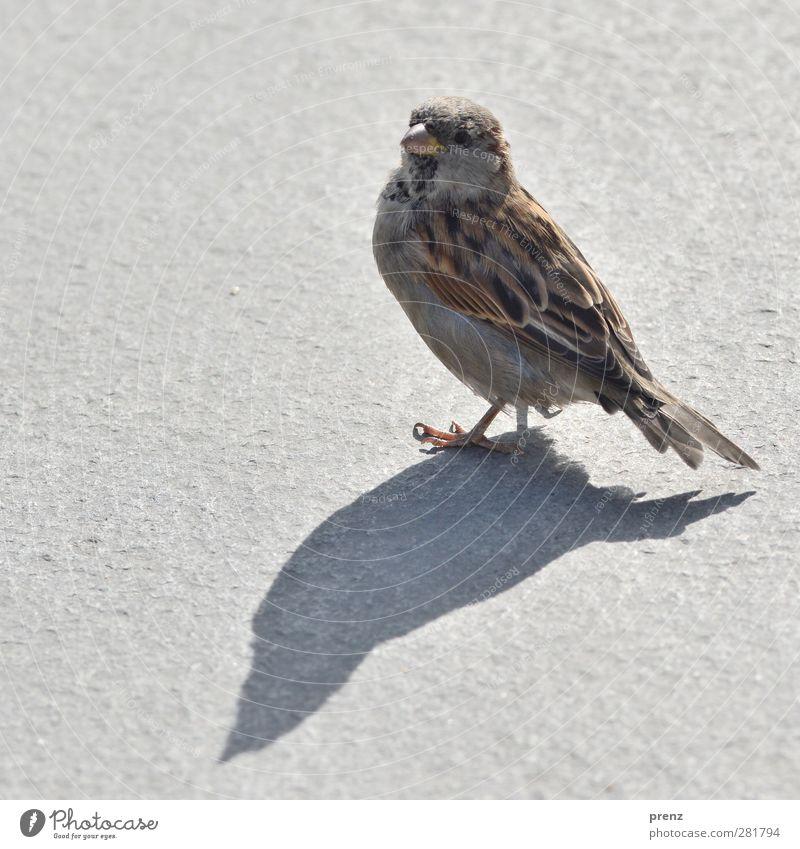 einer mit schatten Umwelt Natur Tier Wildtier Vogel 1 braun grau Spatz Singvögel Schatten Farbfoto Außenaufnahme Menschenleer Textfreiraum links Morgen