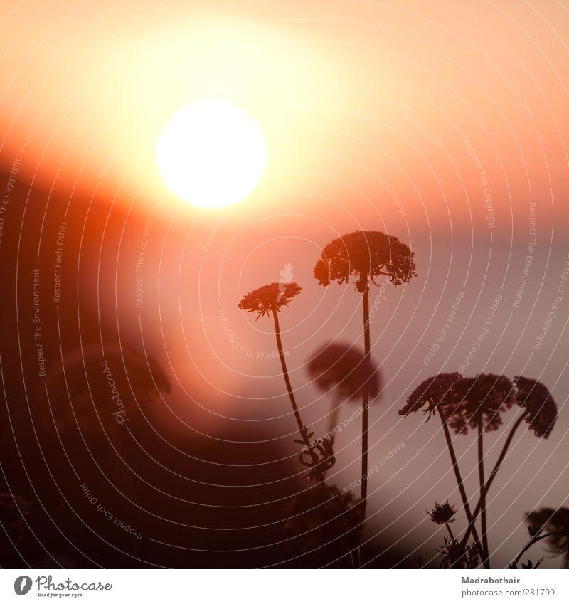 Sonnenaufgang am Meer Natur Landschaft Himmel Sonnenuntergang Sonnenlicht Sommer Pflanze Blüte Wildpflanze Bärenklau Doldenblüte Küste Stimmung Warmherzigkeit