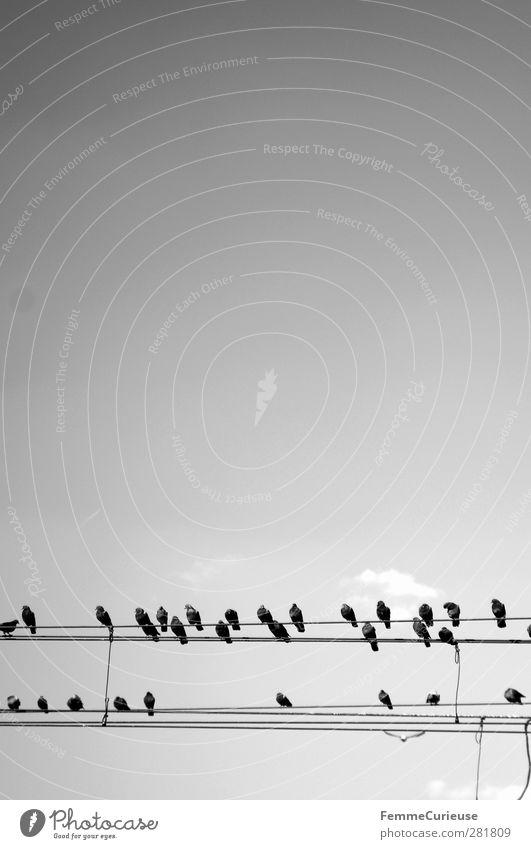 Cheep cheep cheep. Natur Tier Vogel Tiergruppe Schwarm Hochspannungsleitung Kabel sitzen Himmel Horizont 2 Leitung gespannt Wolken Wolkenloser Himmel