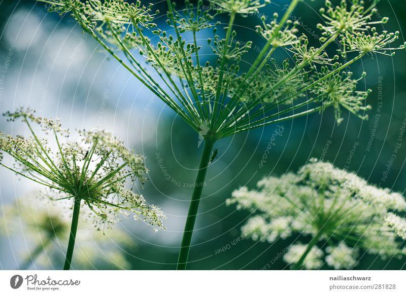 Filigran Natur Pflanze Blume Blüte Wildpflanze Doldenblüte Doldenblütler Wiese Feld Blühend ästhetisch grün weiß zerbrechlich filigran Farbfoto Gedeckte Farben