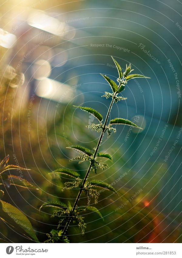Kost-bare Schönheit Brennnessel Natur Heilpflanzen Pflanze Sommer schön nützlich Ausdauer bescheiden Heilwirkung Urtica dioica Gesundheit Dämmerung Gegenlicht