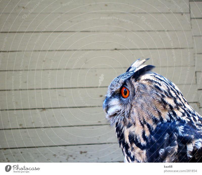 Uhu Tier Wildtier Vogel Zoo Holz fliegen braun orange Greifvogel Eulenvögel Europa Wald Falknerei Auge Blick warten Feder Schnabel nachtaktiv sehen ruhig ruhen