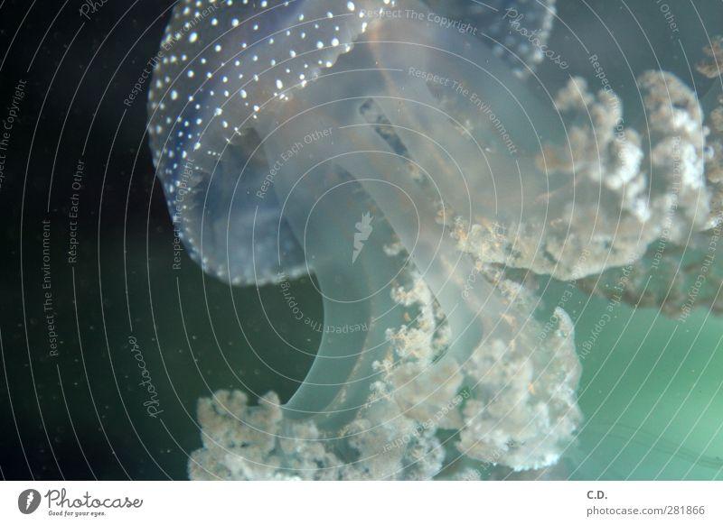 Medusa Wasser Qualle Aquarium 1 Tier Schwimmen & Baden ästhetisch schleimig blau grün Schweben Nesseltiere Wirbellose Cnidaria Unterwasseraufnahme nass