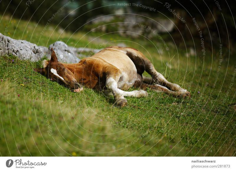 Stressfrei Natur grün Tier Erholung Wiese Berge u. Gebirge Gras Tierjunges braun liegen ästhetisch Idylle schlafen niedlich Alpen Pferd