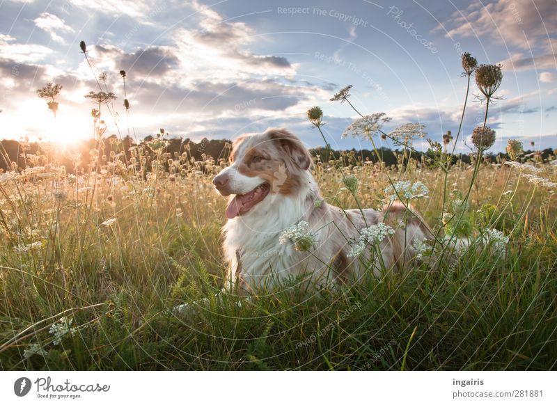 Frodo Natur Landschaft Pflanze Himmel Wolken Horizont Gras Wiese Tier Hund 1 beobachten genießen liegen Blick warten frei Freundlichkeit natürlich blau gelb