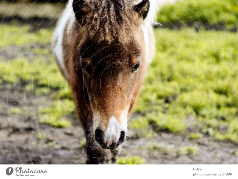 Kleiner Schelm grün Sommer Tier Winter Wiese Herbst Gras Frühling Tierjunges grau klein braun laufen warten beobachten Pferd