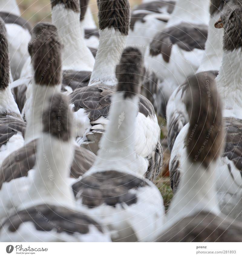 Gänse Natur weiß Tier Umwelt grau Vogel Tiergruppe Gans Nutztier Entenvögel