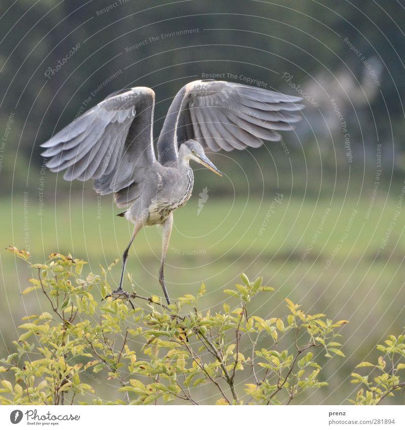 Landung Umwelt Natur Tier Wildtier Vogel 1 grau grün Graureiher Reiher flattern Storchendorf Linum Farbfoto Außenaufnahme Menschenleer Textfreiraum rechts Tag