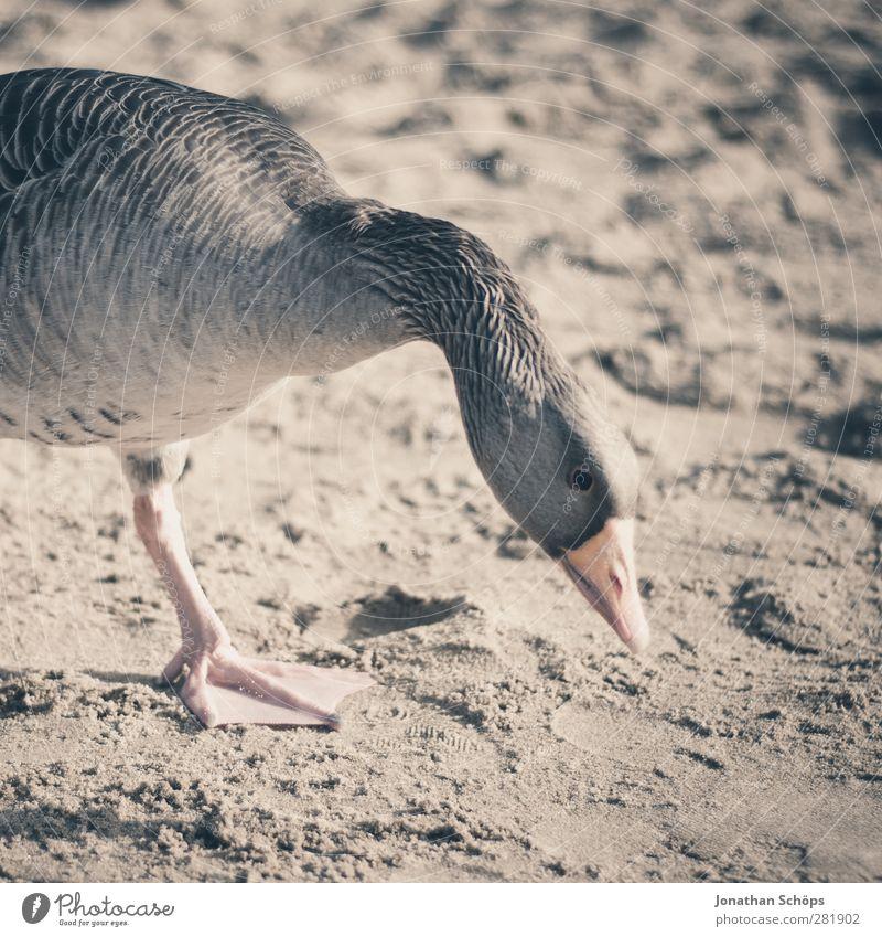 Strandgans I Tier Wildtier Vogel Tiergesicht Gans 1 braun Sand Sonnenlicht Suche Nahrungssuche Hals Profil Schnabel Themse zutraulich Mittagessen füttern