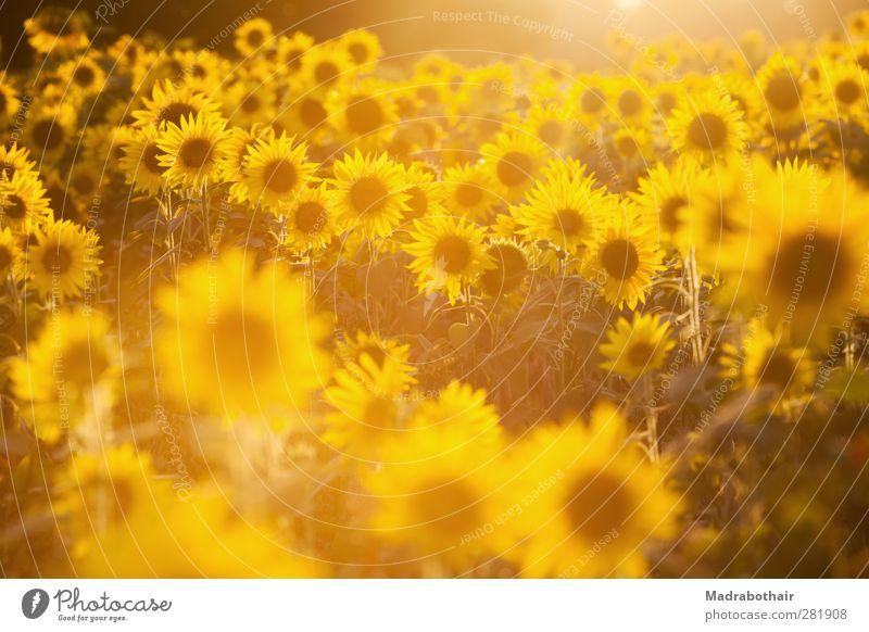 Leuchtkraft der Natur Landschaft Pflanze Sonnenlicht Sommer Herbst Blume Sonnenblume Sonnenblumenfeld Feld leuchten viele Wärme gelb Warmherzigkeit Farbe