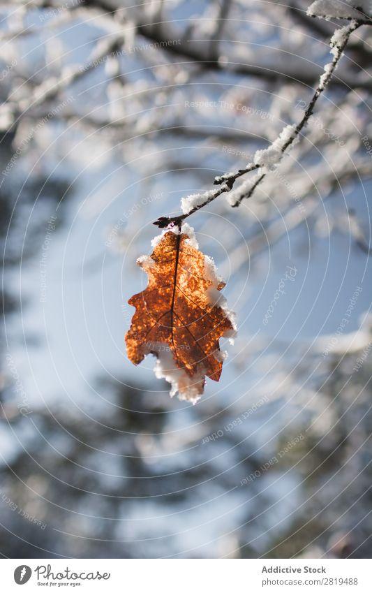 Herbstwald auf Ast im Winter Blatt Baum Natur Jahreszeiten gelb Wald Pflanze schön Eiche Schnee kalt klein weiß Frost Szene Wetter Tag Eis Schneefall