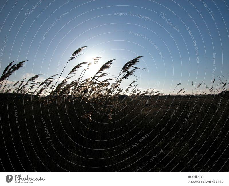 wehendes schilf Gras Gegenlicht schlif Sonne blau Himmel