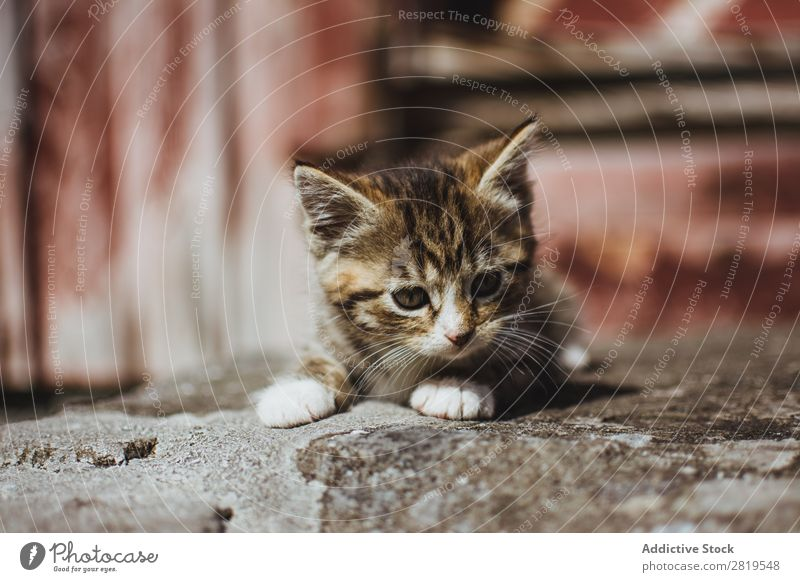 Niedliche kleine Katze auf dem Boden Katzenbaby niedlich sitzen Tier Haustier Jugendliche heimisch Porträt Säugetier schön reizvoll Pelzmantel lustig Tabby