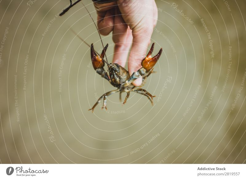 Hand mit Flusskrebsen schneiden Flußkrebs Natur Tier Schere Lebensmittel Fisch Hummer Meeresfrüchte Panzer natürlich Tierwelt organisch lebend wild Krebstier