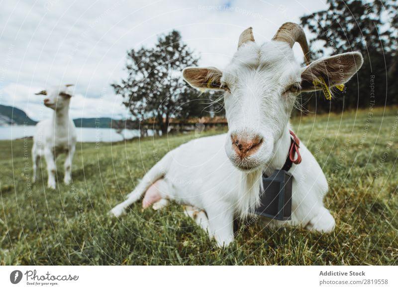 Zwei Ziegen auf der Wiese grün Weide Bauernhof ländlich Gras Natur Sommer Säugetier Feld Tier heimisch Vieh Landwirtschaft Ackerbau niedlich weiß Kind lustig
