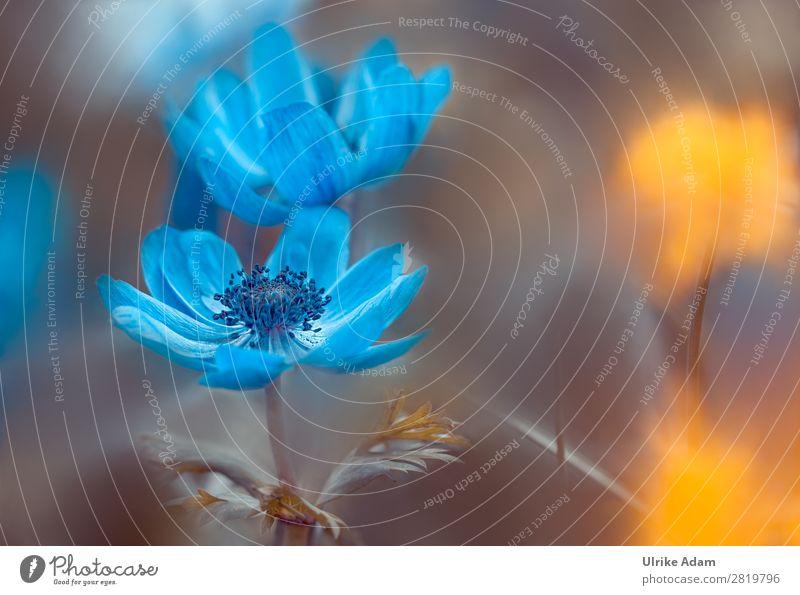 Blaue Anemonen Natur Sommer Pflanze blau Blume gelb Blüte Frühling Garten Design Dekoration & Verzierung leuchten Geburtstag Blühend Hochzeit Ostern