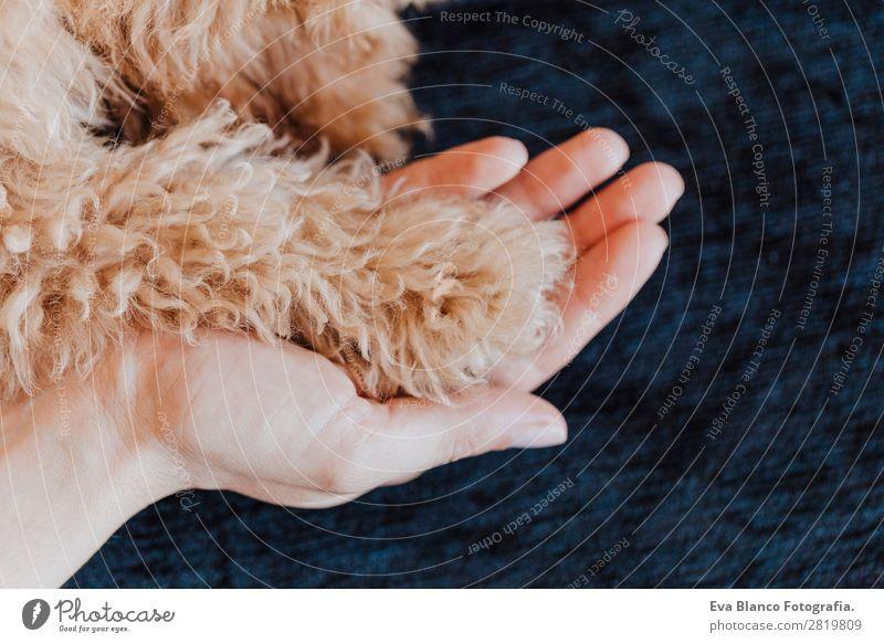 Spielzeugpudel Hundepfoten und Menschenhand aus nächster Nähe Freude Haus feminin Junge Frau Jugendliche Erwachsene Familie & Verwandtschaft Freundschaft Hand 1