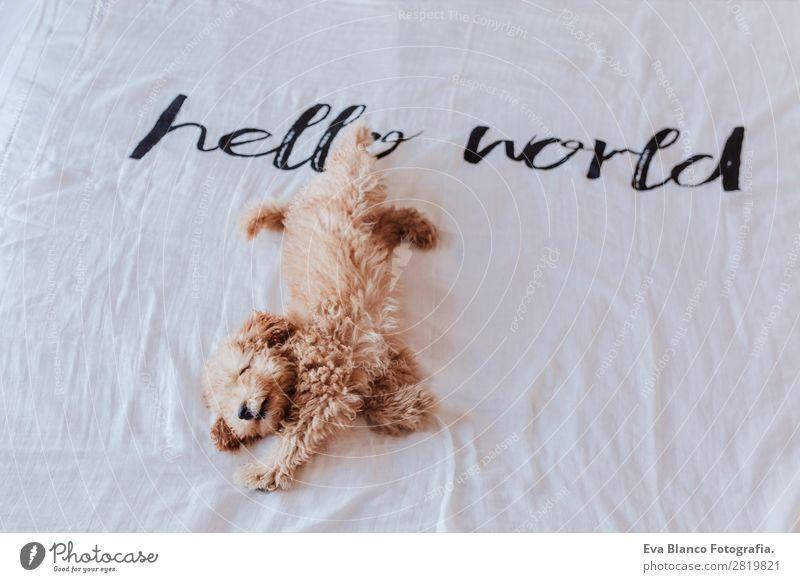 süsser Welpe brauner Zwergpudel auf dem Bett Freude Gesicht Erholung Spielen Haus Tier Erde Pelzmantel Haustier Hund 1 Liebe schlafen klein lustig niedlich klug
