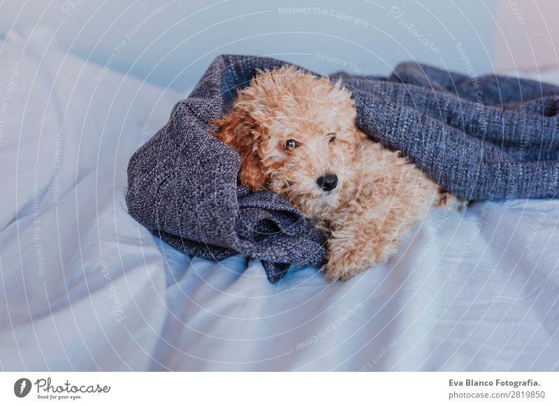 Süßer brauner Zwergpudel zu Hause Glück schön Leben Ferien & Urlaub & Reisen Sofa Baby Tier Haustier Hund Pfote Spielzeug Teddybär schlafen sitzen klein lustig