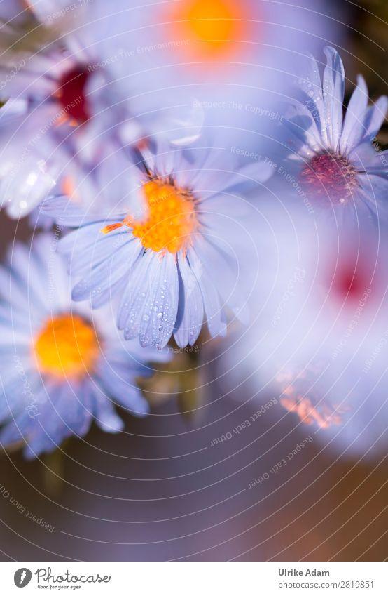 Blaue Blüten der Astern Natur Sommer Pflanze blau Blume Herbst Garten Design Geburtstag Romantik Blühend Hoffnung weich Wellness harmonisch