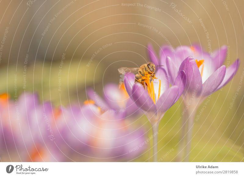 Biene im Pollenrausch Gesundheit Alternativmedizin Allergie Wellness Spa Ostern Umwelt Natur Pflanze Tier Frühling Blume Blüte Krokusse Garten Wildtier Insekt