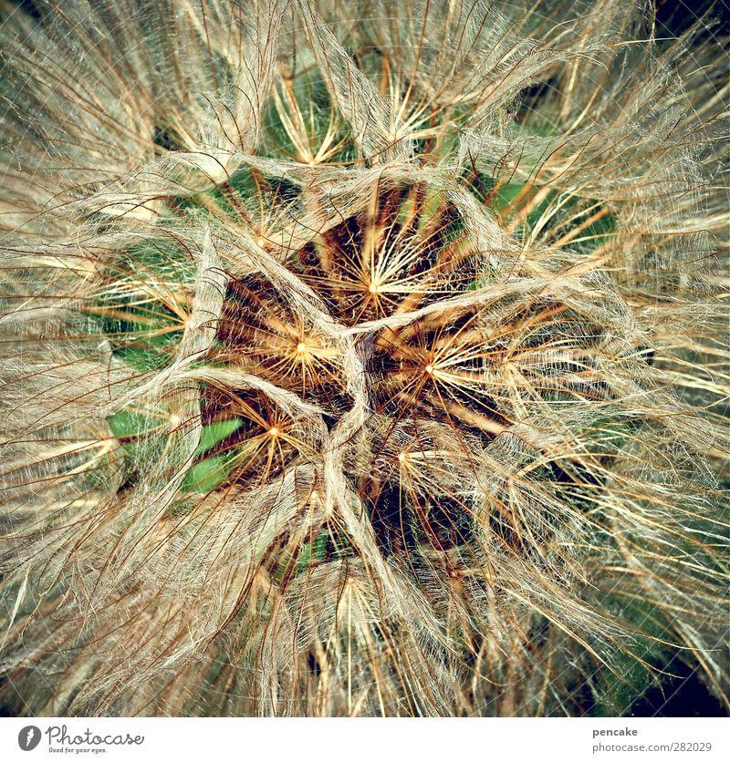 1000 neue lichter Natur Pflanze Blume Blüte Wiesen-Bocksbart Optimismus entdecken komplex Löwenzahn blasen Samenpflanze Sommerblumen Fallschirm Farbfoto