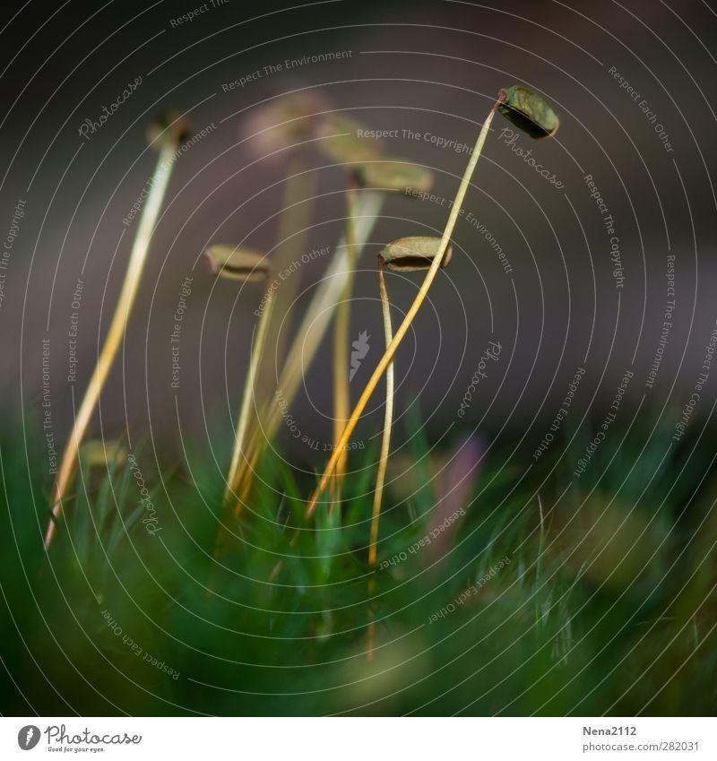 Ameisenperspektive? Natur Pflanze Gras Moos Wiese Wald dünn grün außergewöhnlich Miniatur Farbfoto Außenaufnahme Nahaufnahme Detailaufnahme Makroaufnahme