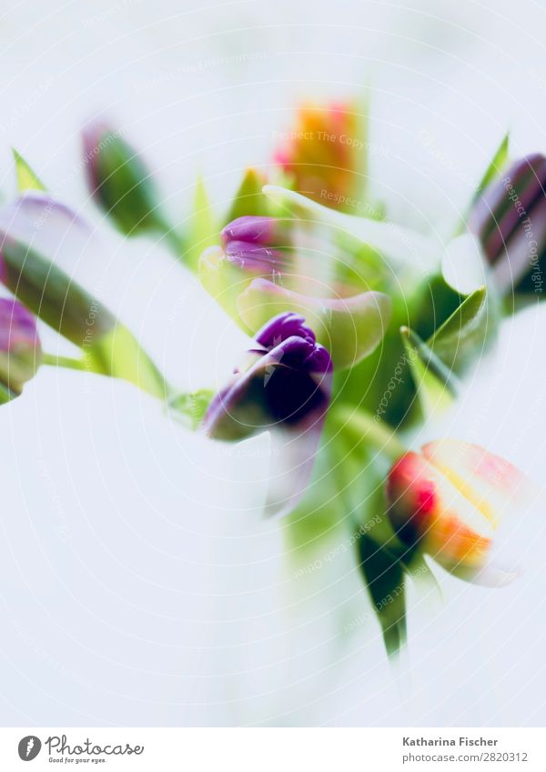 malerisch Blumen Tulpen Kunst Natur Pflanze Frühling Sommer Herbst Winter Blatt Blüte Blumenstrauß Blühend leuchten schön grün violett orange rot türkis weiß