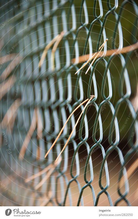 Herbstliches am Maschendrahtzaun Pflanze Lärchennadeln Nadelhölzer Garten Zaun Metall Kunststoff fangen dehydrieren trist trocken braun grün Stimmung