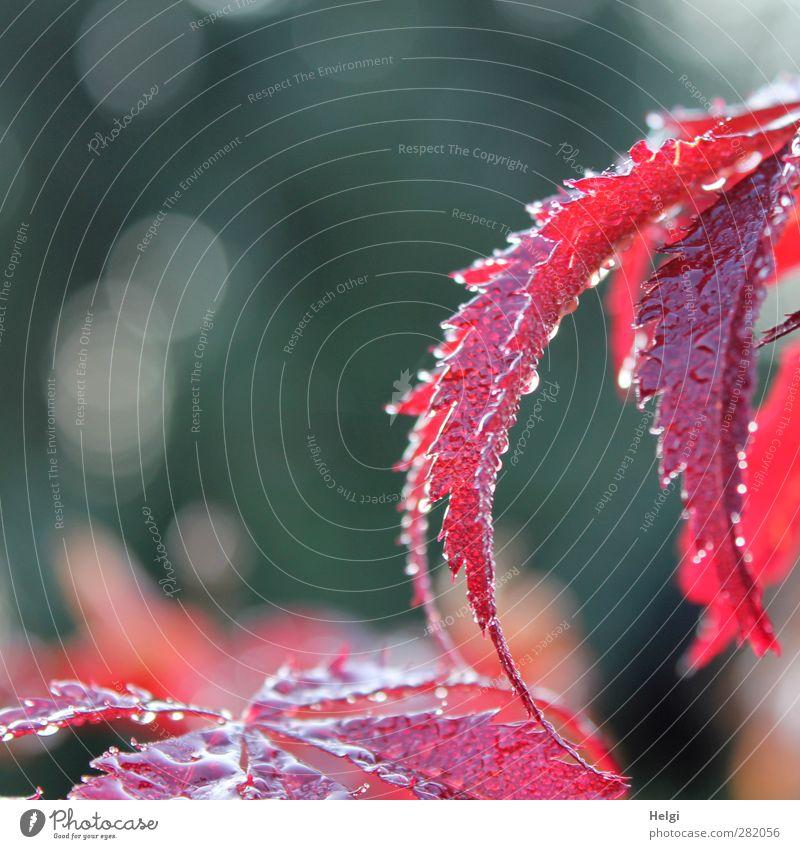 Tränen der Natur... Pflanze Herbst Regen Blatt Ahorn Ahornblatt Garten Tropfen glänzend leuchten Wachstum ästhetisch schön nass natürlich grau rot weiß Gefühle