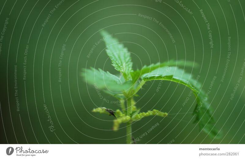 greenshot Umwelt Natur Pflanze Gras Sträucher Blatt Grünpflanze Wildpflanze Brennnessel dünn authentisch einfach frisch Gesundheit einzigartig natürlich Spitze
