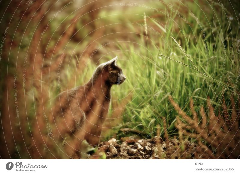 Maigret Katze Natur schön Sommer Tier Landschaft Umwelt Wiese Gras Freiheit Garten Zufriedenheit ästhetisch Sträucher beobachten Jagd