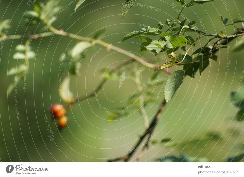 wahrnehmung Natur Pflanze Sträucher Hagebutten Blatt grün rot beruhigend wahrnehmen Eindruck Ferne nah Unschärfe Schwache Tiefenschärfe Zweig nachdenklich