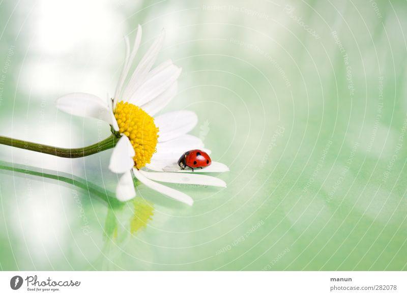 Marienkäfer auf Margerite Natur Sommer Blume Tier Blüte Gefühle natürlich Glück Wildtier Geburtstag authentisch Fröhlichkeit Zeichen Blütenblatt Käfer