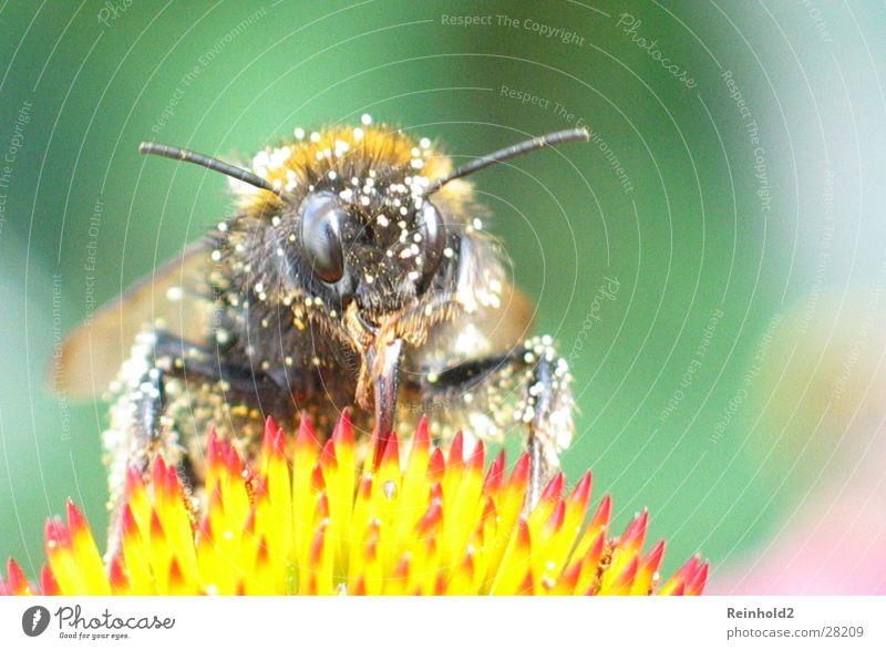 Biene im Sommer Tier Hummel fliegen Farbe Garten
