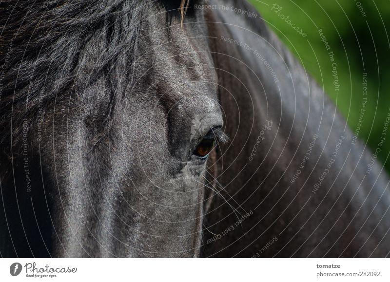 Pferd Tier 1 sportlich Stolz Kraft Horse Auge Mähne Kopf dunkel Blick nach vorn Farbfoto Außenaufnahme Nahaufnahme Tag Tierporträt Blick in die Kamera