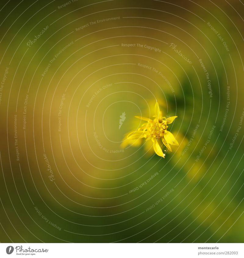 yellow flower Umwelt Natur Pflanze Sommer Blume Blatt Blüte Grünpflanze Wildpflanze dünn authentisch einfach klein natürlich Spitze trocken wild weich gelb grün