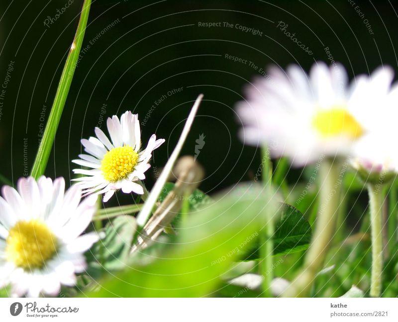 gansblume Blume grün Gras Gänseblümchen