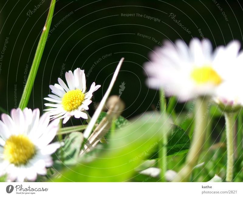 gansblume Gänseblümchen Blume Gras grün