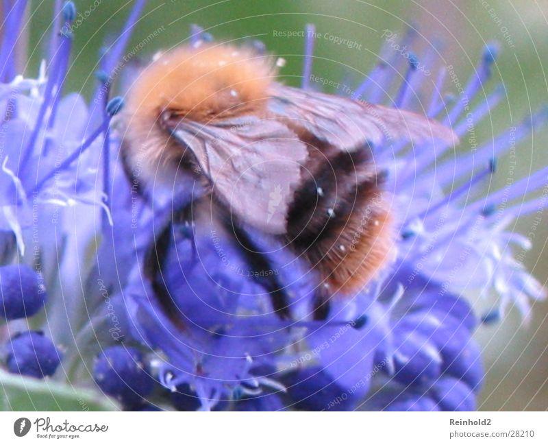 Hummel in Blau Ferne Sommer Zufall blau Garten Tele