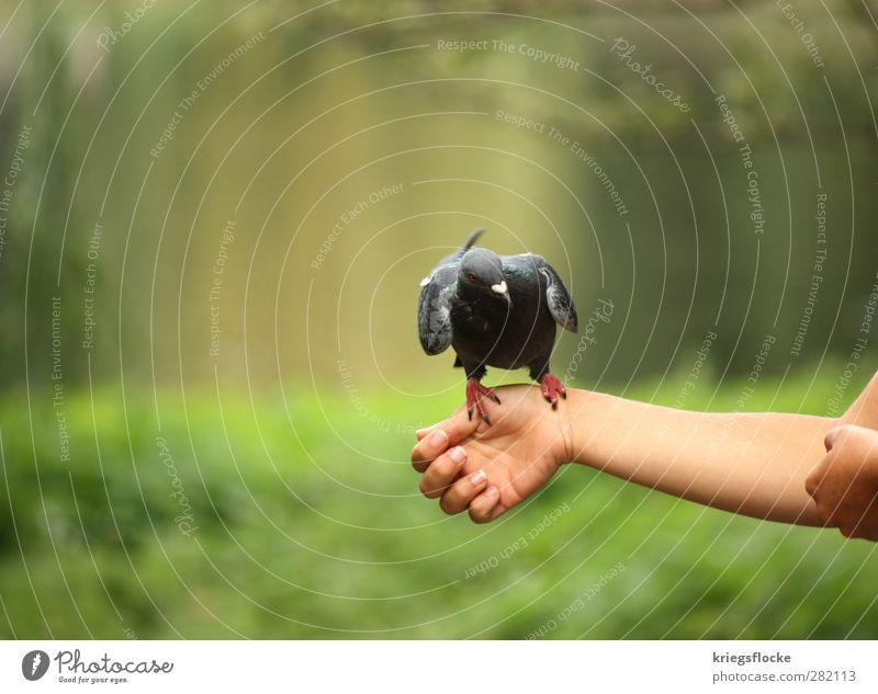 1 graue Taube (gurugururguruuu) Frau Erwachsene Arme Hand Natur Tier Gras Sträucher Park Wiese Vogel Flügel Krallen füttern Kommunizieren Neugier grün Vertrauen