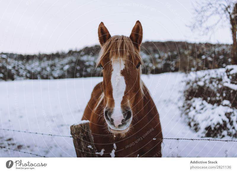 Pferd im verschneiten Fahrerlager Sattelkammer Winter Natur Bauernhof Tier Schnee Hengst Säugetier pferdeähnlich Freiheit Ranch heimisch Reiterin Wiese Feld
