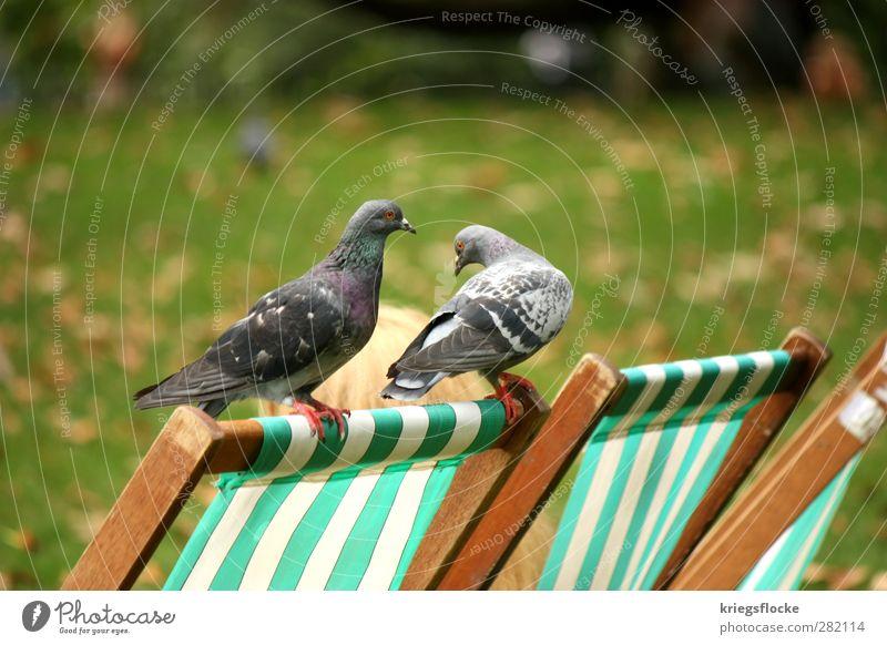 2 graue Tauben (guruguruguruuu) Umwelt Natur Gras Blatt Park Wiese Tier Vogel Erholung genießen Frühlingsgefühle Zufriedenheit Freizeit & Hobby Liegestuhl