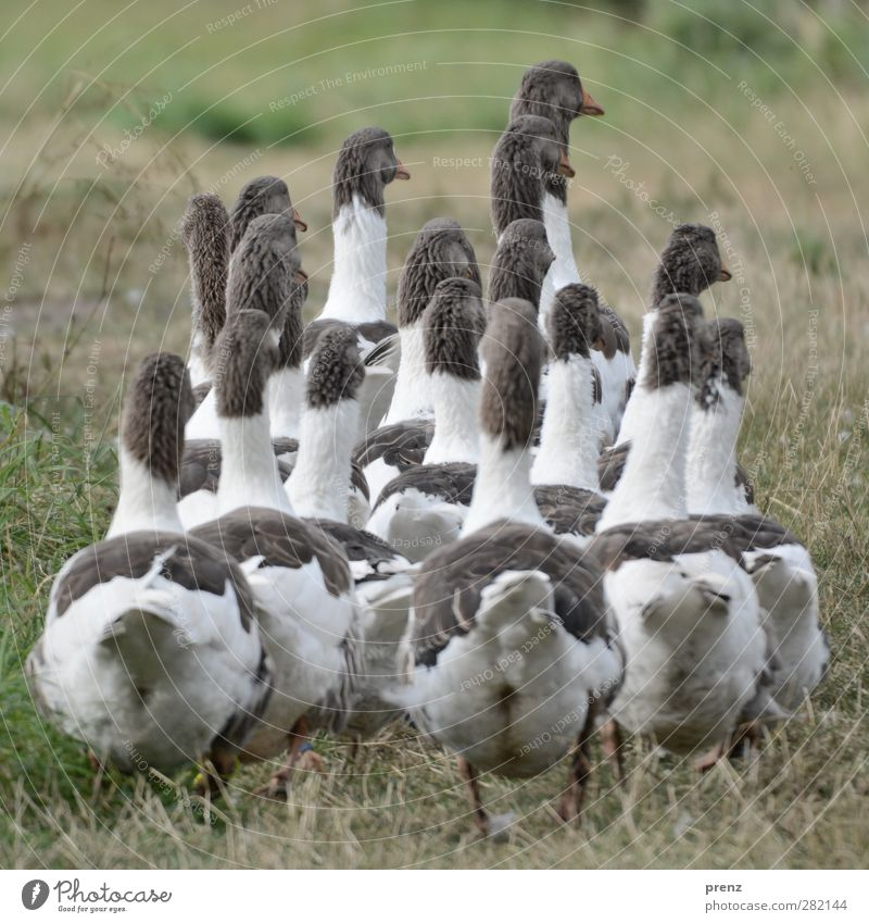 nach hause gehen Natur grün weiß Tier Umwelt Wiese grau Vogel Tiergruppe Gans Nutztier Entenvögel