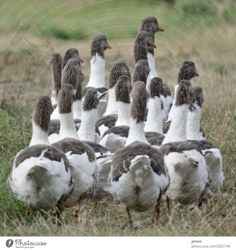 nach hause gehen Umwelt Natur Tier Wiese Nutztier Vogel Tiergruppe grau grün weiß Gans Entenvögel Rückansicht Farbfoto Außenaufnahme Menschenleer