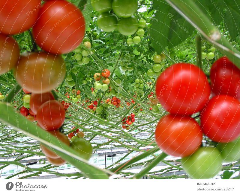 Tomate rot lecker Rheinisch-Westfälisches Elektrizitätswerk AG Gesundheit Erftkreis Deutschland