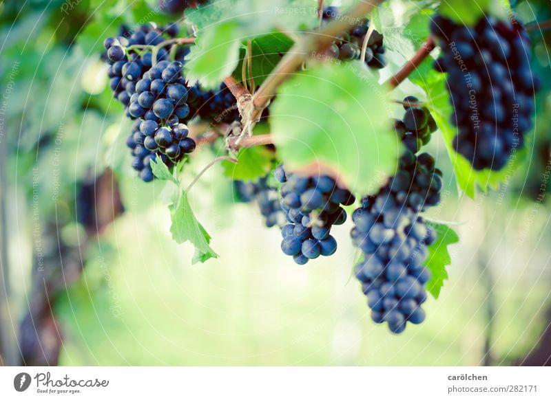 Zeit zum Ernten Umwelt Natur Herbst Schönes Wetter Pflanze Nutzpflanze Feld blau grün Weintrauben reif Weinlese Rotwein Samtrot Farbfoto Außenaufnahme